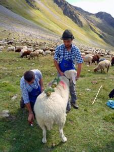 Das schönste Schaf wird geschmückt_Foto D.Gehm