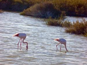 FR AROSA Camargue rosa Flamingos Kopf im Wasser