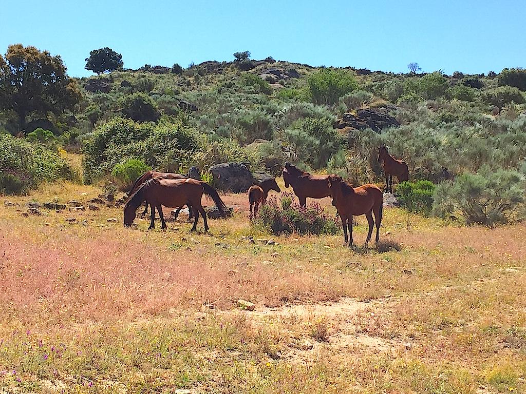 Eine Herde wilder Garrado-Pferde im Naturpark Faia Brava, Foto, Heiner Sieger