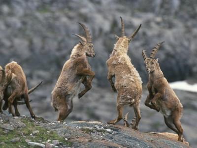 Jungsteinböcke: Copyright_Nationalpark-Hohe Tauern Zupanc