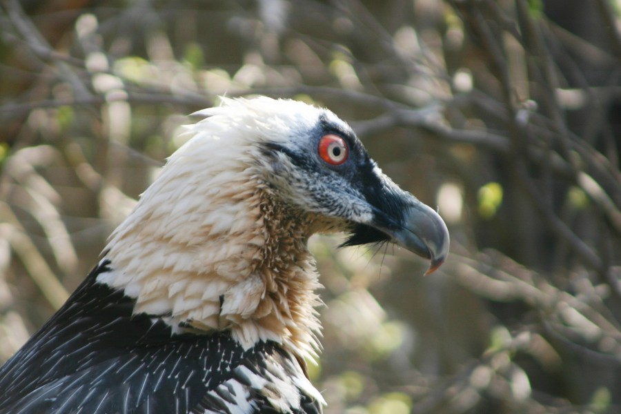 Gypaetus barbatusBearded VultureBartgeier- adult - Portrait - Haringsee