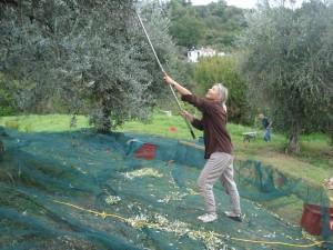 OlivenernteHeidiRauch