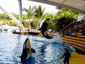 Orca-Show Loro Parque 2016-03-23 Foto Elke Backert