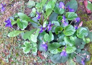 Yvette fait les violettes à Tourrettes
