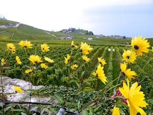 Weinterrassen Lavaux   2015-10-10 Foto Elke Backert