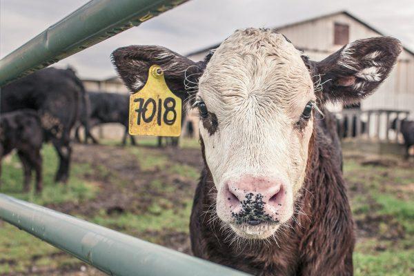 calf-362170_1920