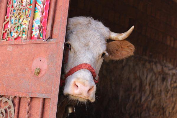 cow-5071027_1920