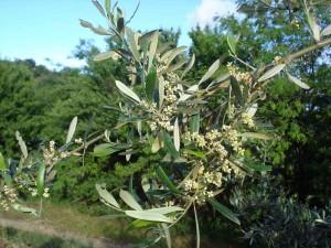 k-OlivenbaumblütenNah