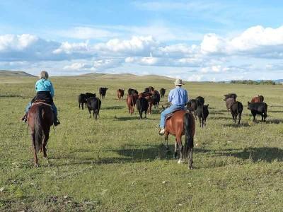 k-wir treiben Rinder auf eine andere Weide