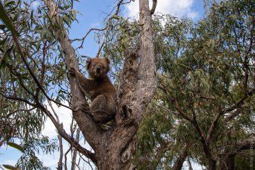 Koala auf Raymond Island (Victoria, Australien)