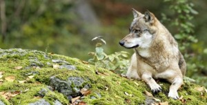 Wandern zwischen Wölfen und Waldpilzen